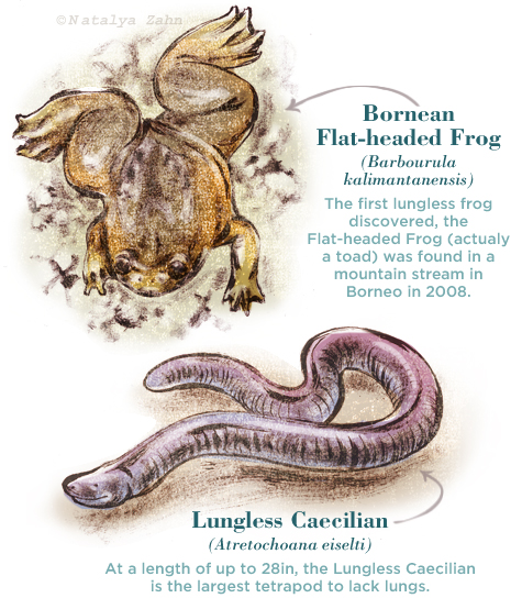 lungless amphibians, Bornean Flat-headed Frog, Lungless Caecilian