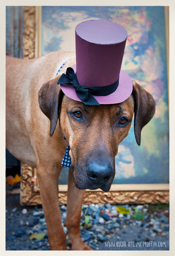 Oscar the Rhodesian Ridgeback dressed up for Halloween