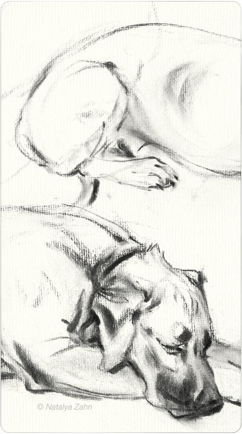 Rhodesian Ridgeback, Oscar, dog portrait