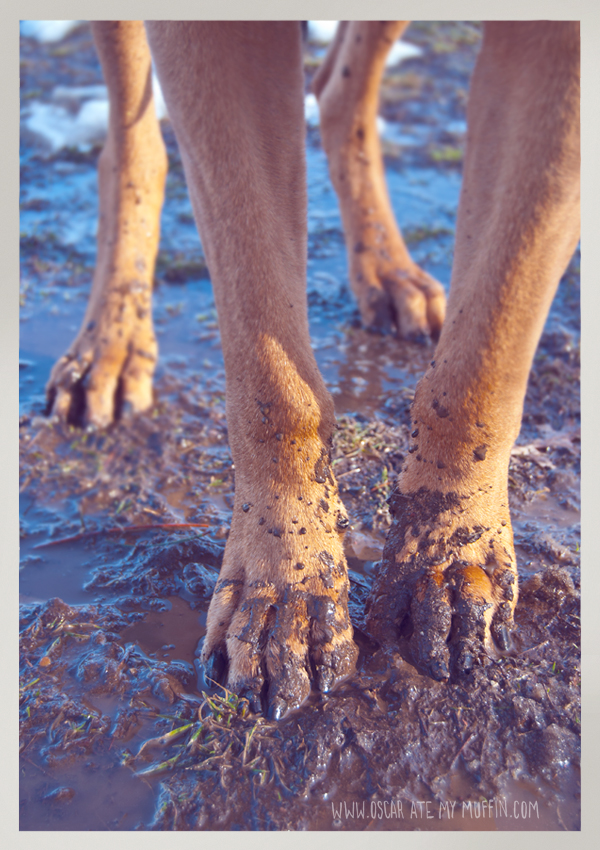 muddy dog feet on Rhodesian Ridgeback, Oscar