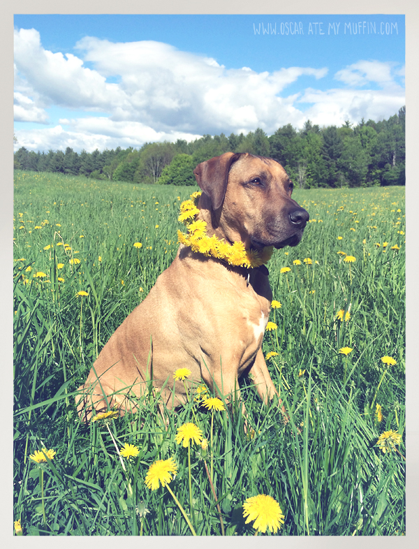 Oscar the Rhodesian Ridgeback and a Dandelion Garland